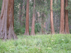 Big Trees summer-style